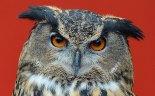 European-Eagle-owl_3212668b