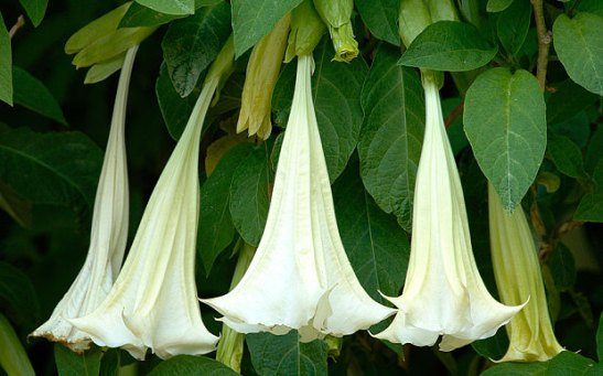 Angels_Trumpet_AA7_3425410b